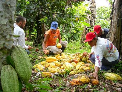 plantation de cacao: cacaoyère