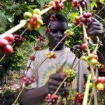 Côte d'Ivoire: entrée en vigueur d'un dispositif d'achat pour absorber les stocks du café