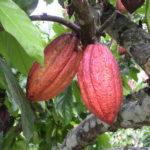 32 milliards pour combattre le swollen shoot du cacaoyer en Côte d'Ivoire