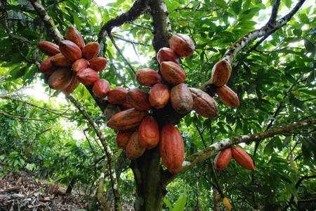 plantation cacao
