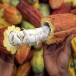 L'Afrique de l'ouest peut couvrir la forte demande de cacao sur le marché mondial